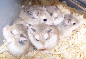 So many hamsters!