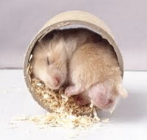 My sleeping hamster (as seen on hamster-palace.com)
